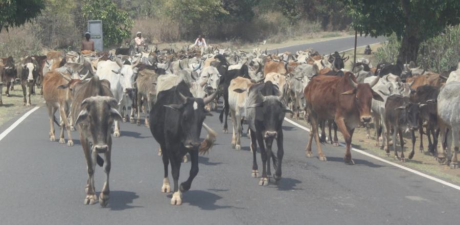 Cow jam thin